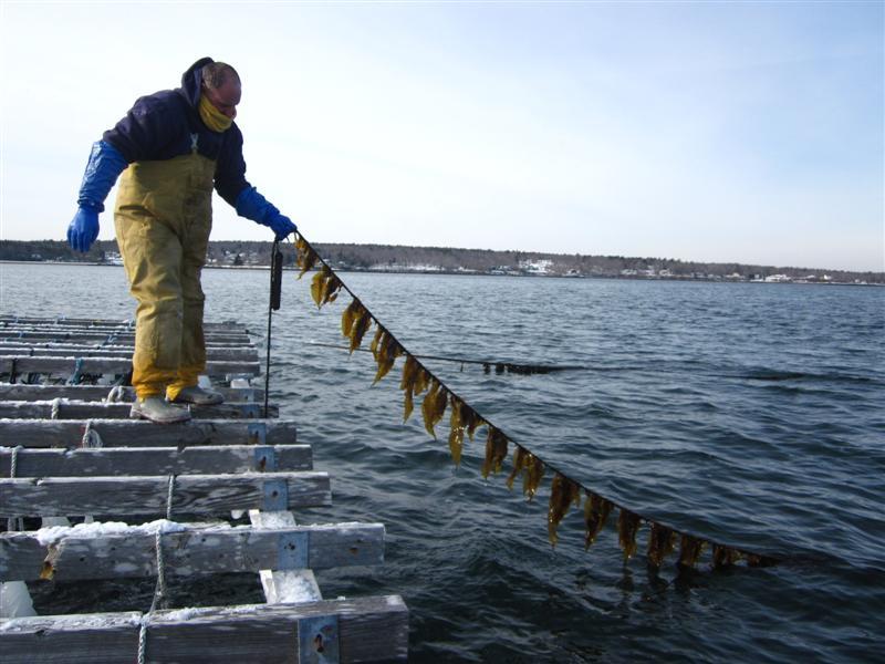 Bangs Island Kelp