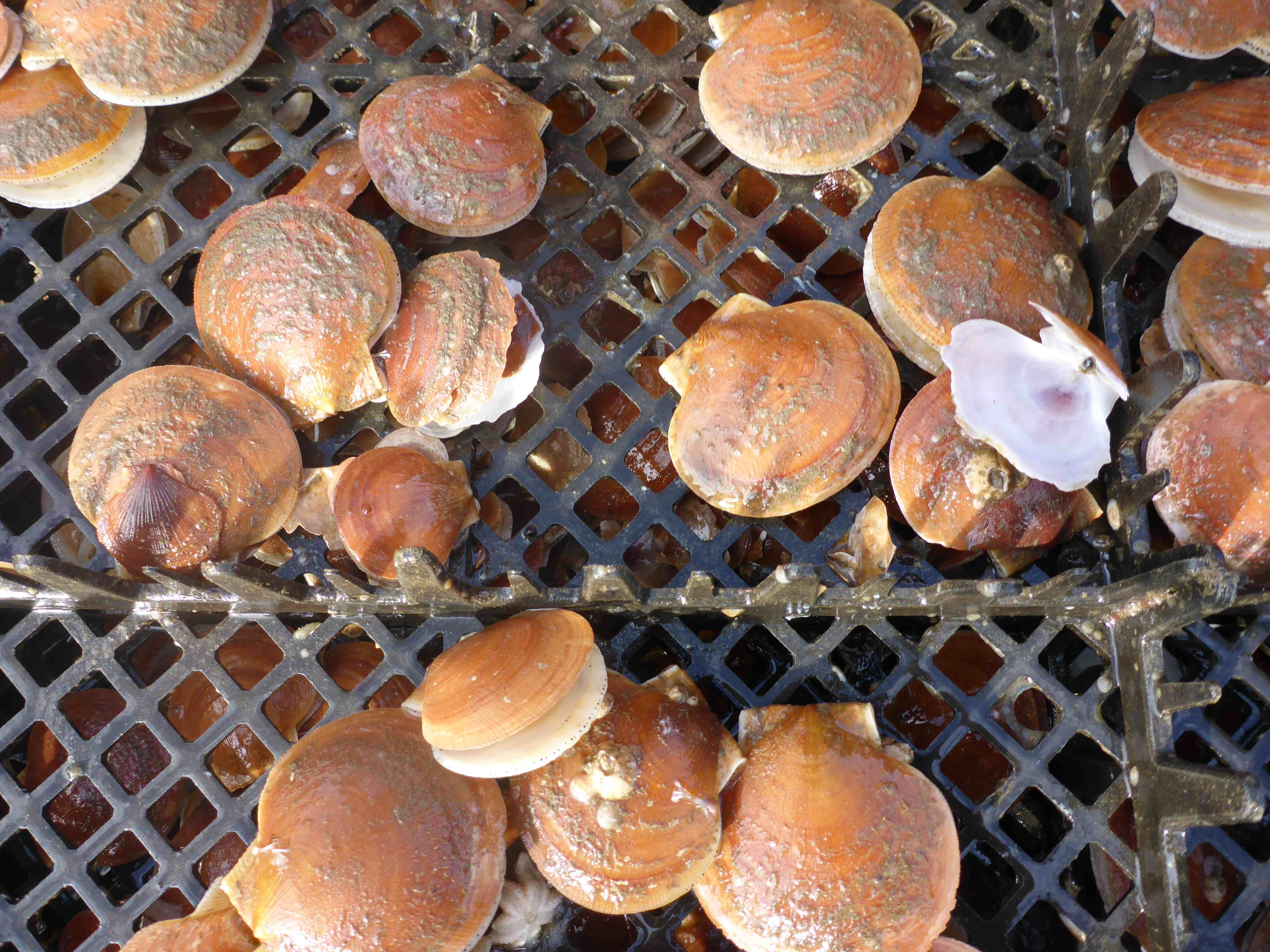 Twenty brown scallops, some with open shells, on black plastic mesh