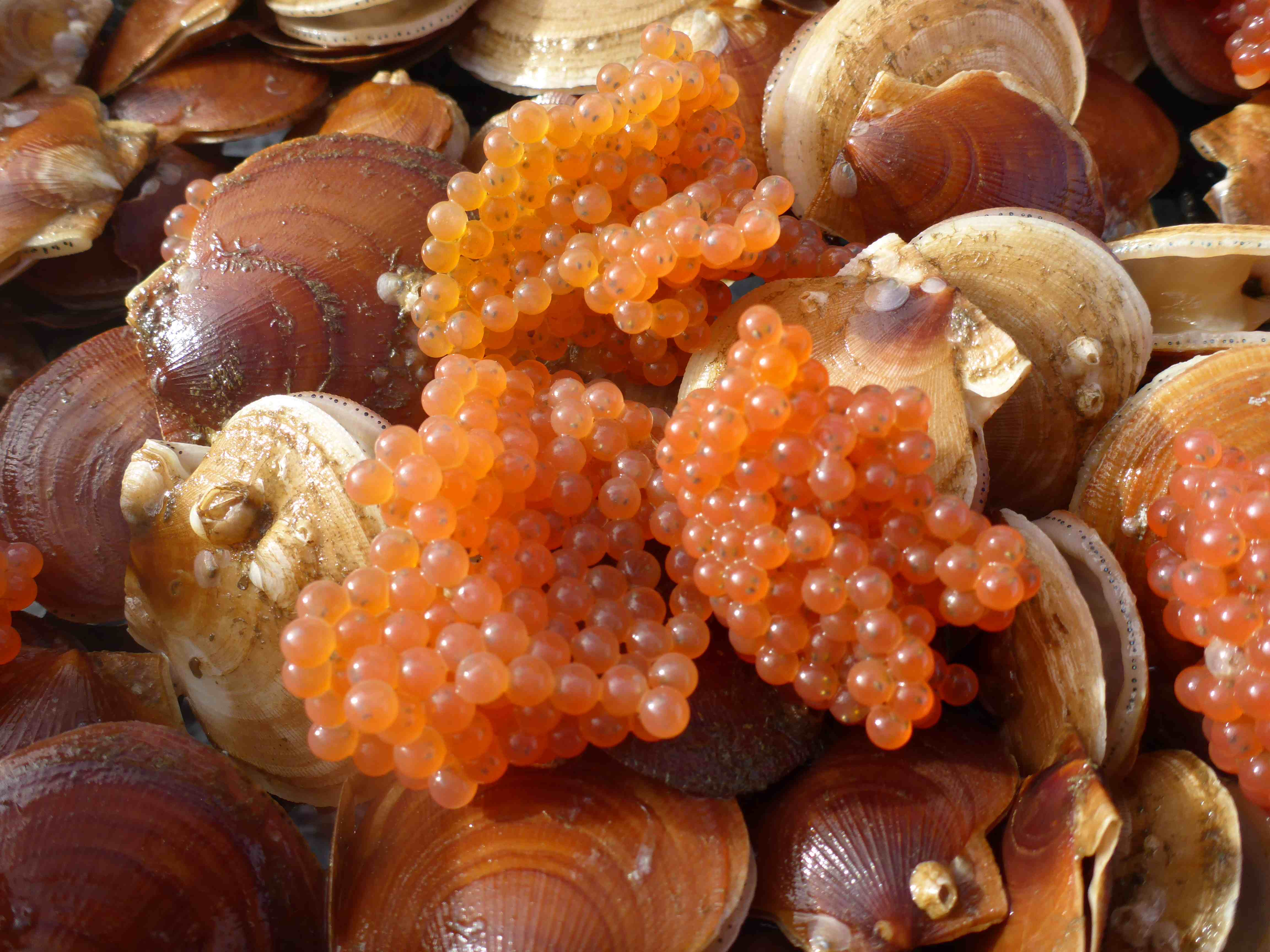 Orange spheres of sculpin eggs on scallops