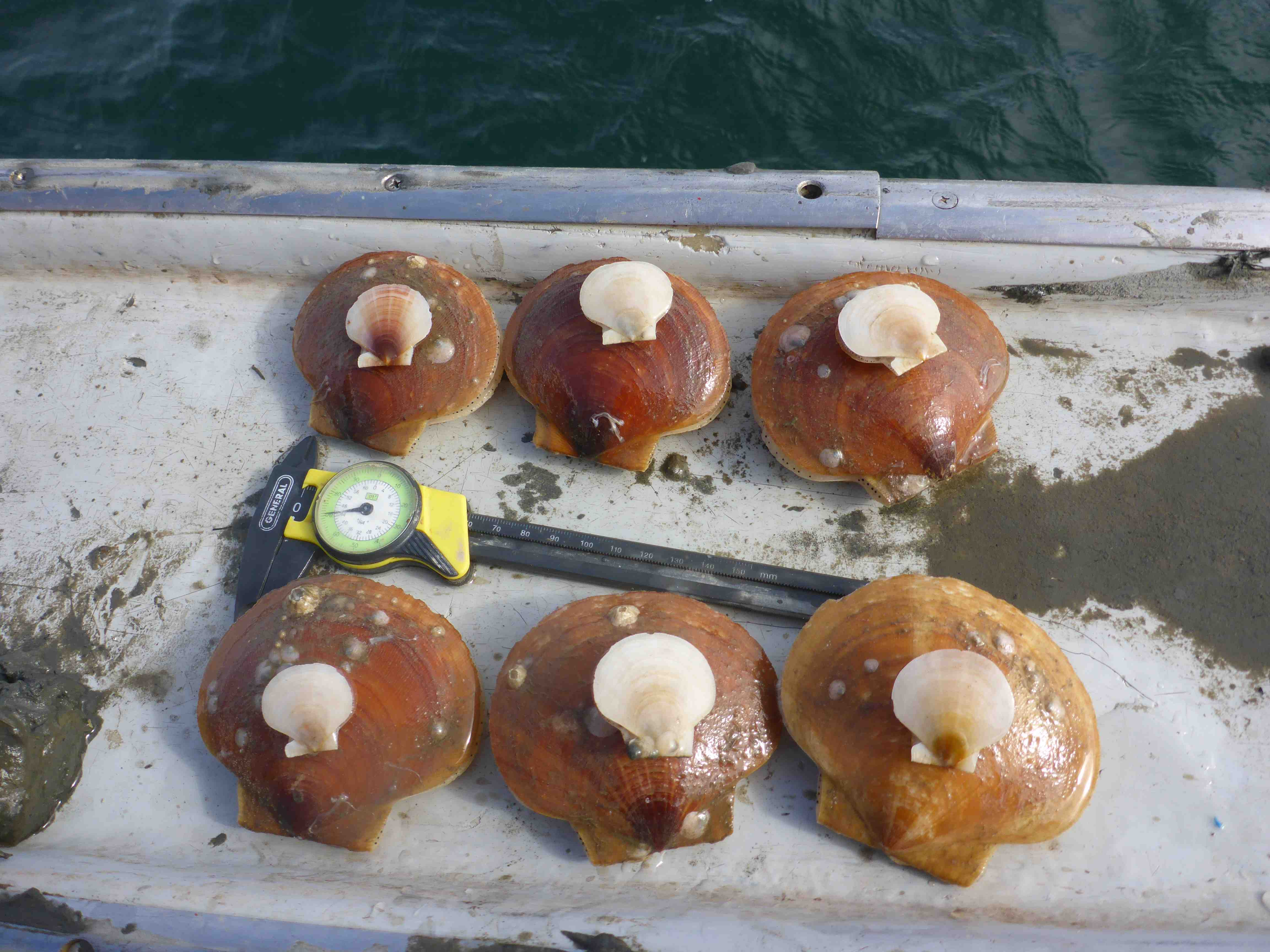 Six small scallops on top of six large scallops with measuring tool