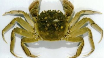 green crab photo