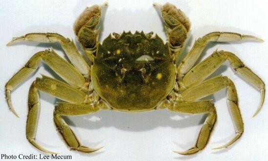 green crab photo