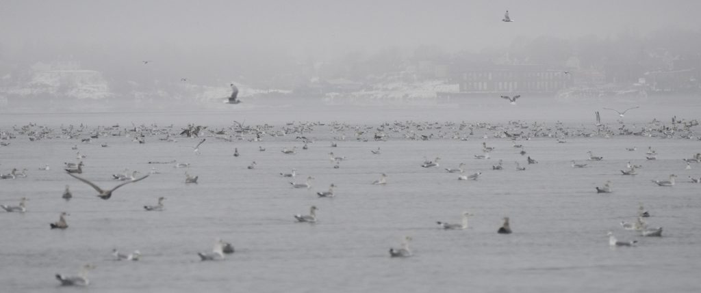photo of gulls feeding on krill with Eastport, Maine in the background