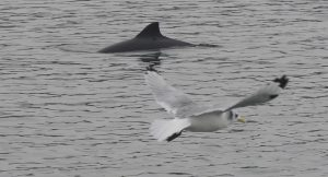 black and white photo of black-legged kittiwake and harbor porpoise