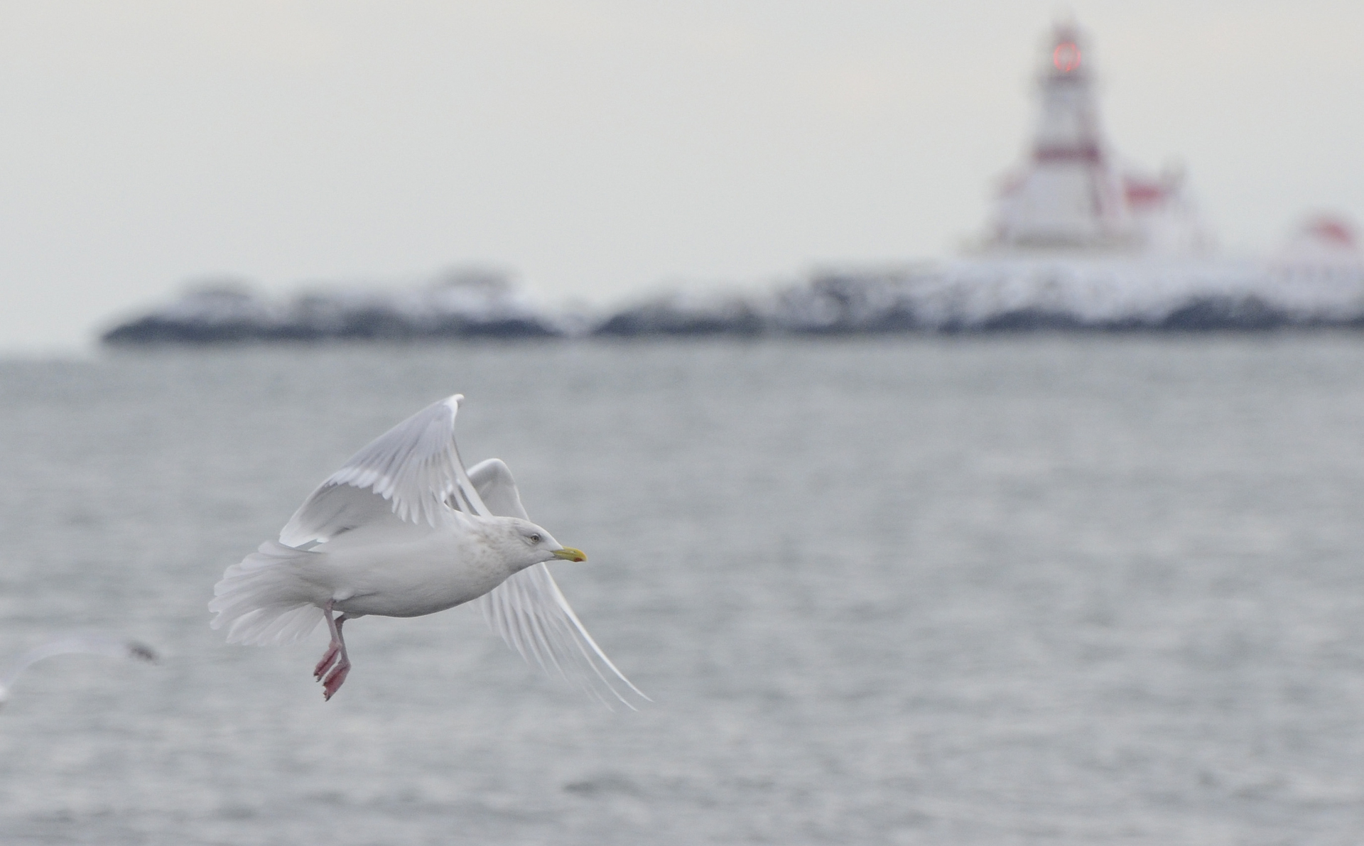 photo of an Iceland gull with East Quoddy Head Lighthouse in the background