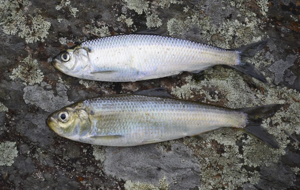 Two fish - an alweife and a blueback herring - on a rock