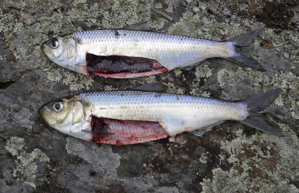 The same two fish with opened abdomens to show differences in abdominal linings