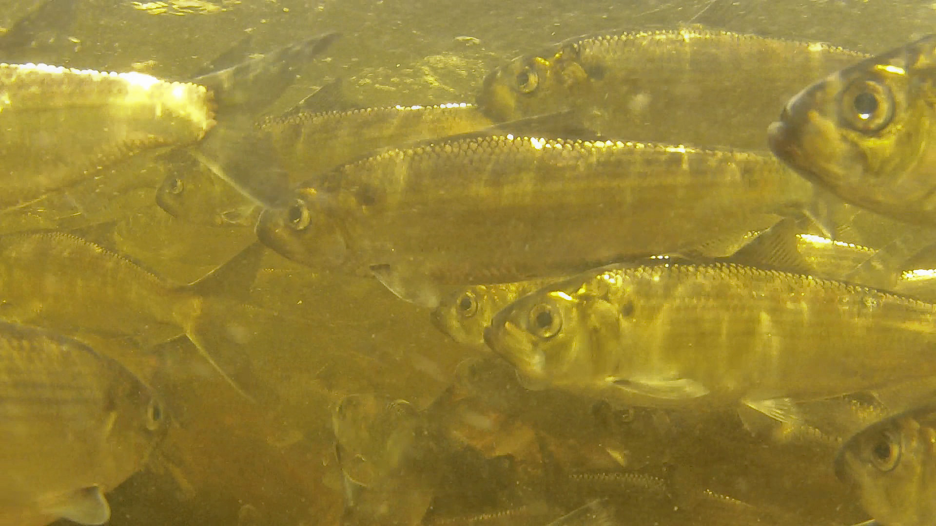 an underwater photo of swimming alewives