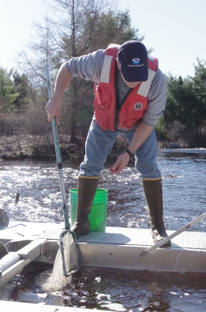 John Kocik of NOAA Fisheries removes fish from a trap with a net.