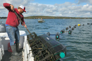 An oyster farmer lifts black cages out of the ocean, with more cages floating on the surface of the water in the background