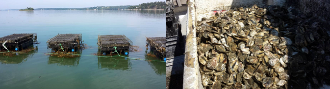 photo of Harpswell fisherman John Rogers' oyster gear, and his 2015 oyster at the new Dogs Head Oyster Company