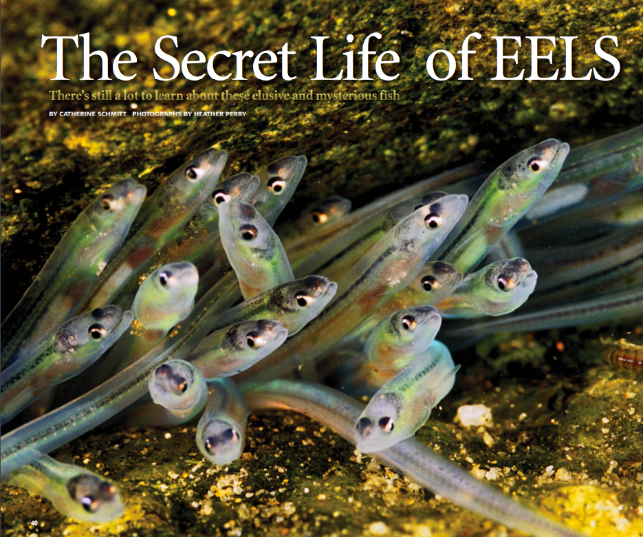 magazine article cover with juvenile eel photo by Heather Perry