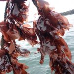 dulse growing on rope line