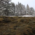 Rockweed under snowy trees