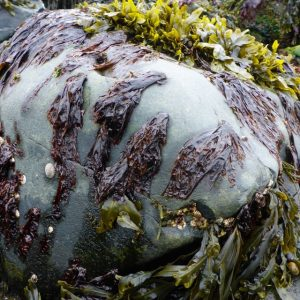 wild porphyra seaweed on rock at low tide