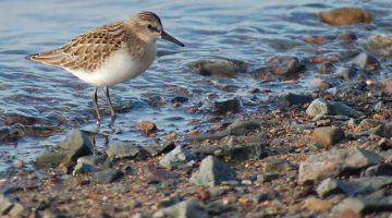 sandpiper at the water's edge