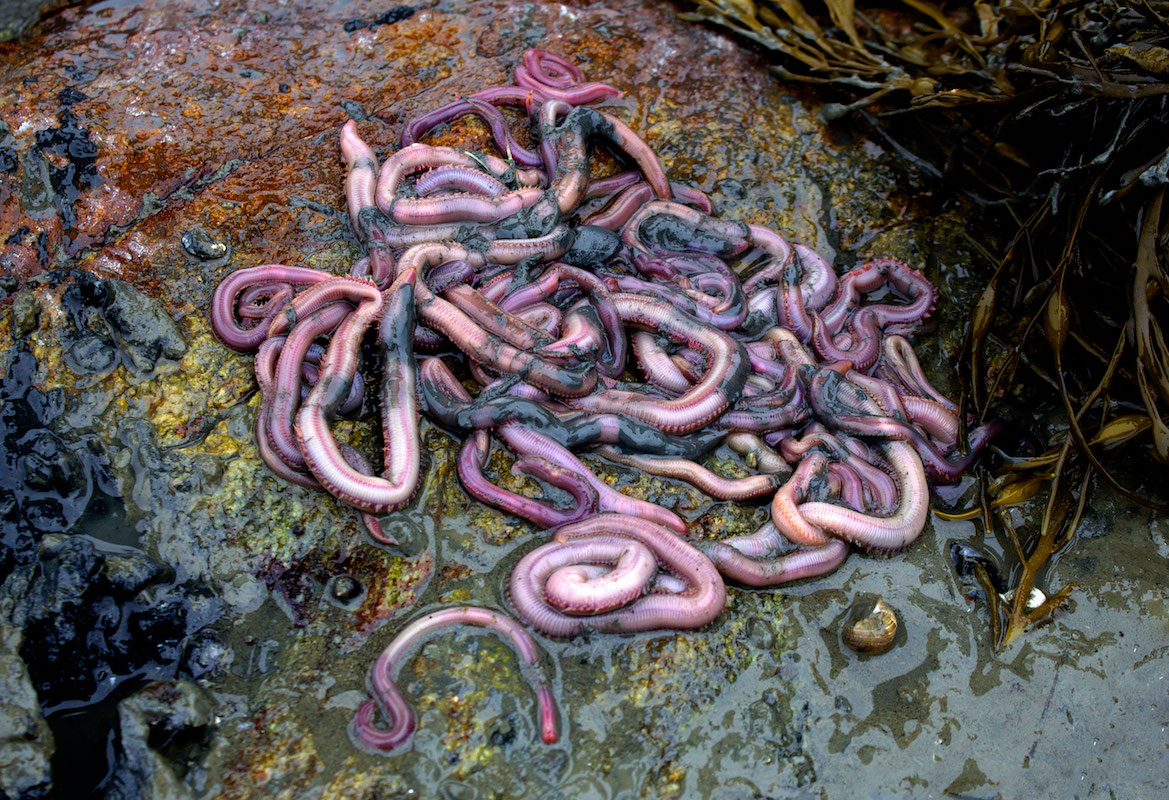 featured image for Coastal Conversations Radio Program: Marine Worms