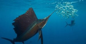 Sailfish hunting sardines in the open ocean off the coast of Mexico