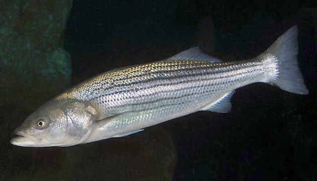 Striped bass/morone saxatilis