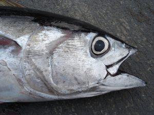 Head of a bigeye tuna