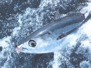 albacore tuna at the surface of the water hooked on a line