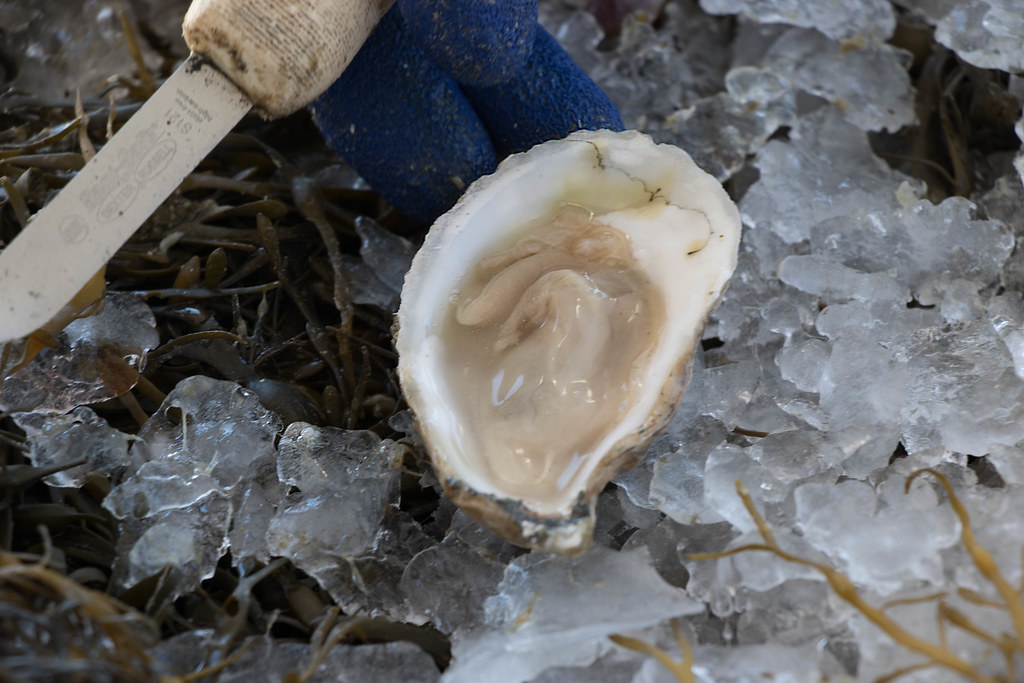 Eastern Oyster (Crassostrea virginica) opened on ice