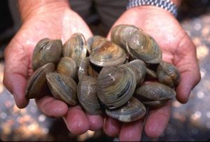 a handful of littleneck clams