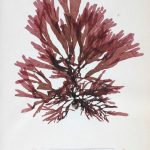 scientific pressing of dulse, scientific name Rhodymenia Palmata = Palmaria palmata