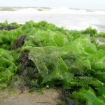 sandy sea lettuce on a beach