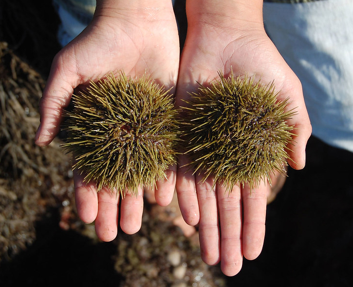two sea urchins in outstretched hands