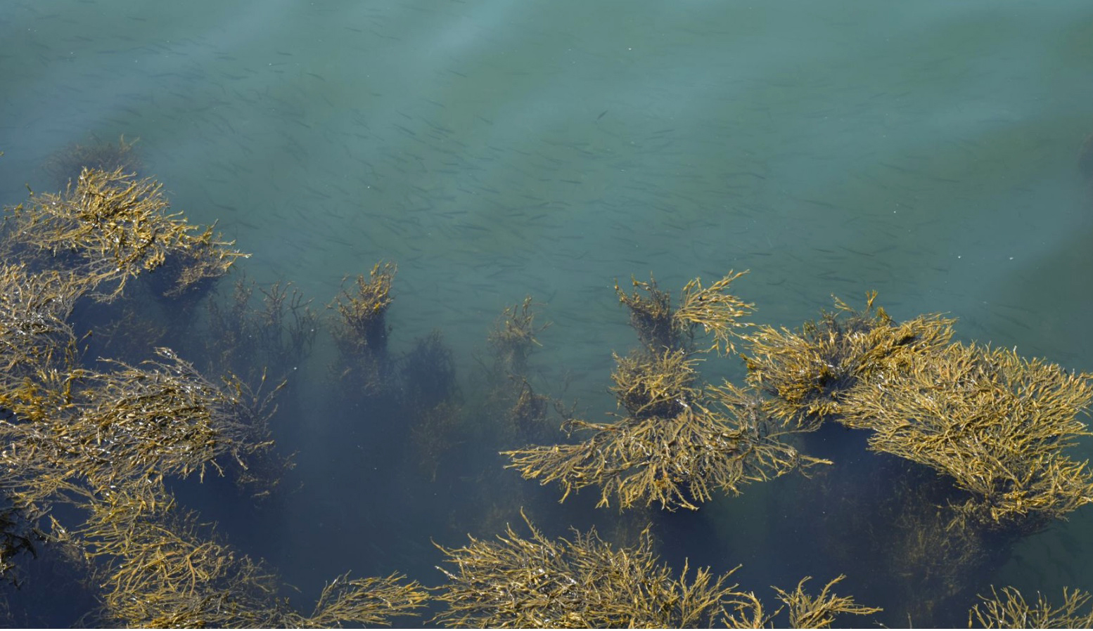 rockweed in the water surrounded by fish