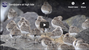 illustrative still of a sandpiper video showing sandpipers