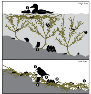 Diagram depicting the food web interactions that occur in rockweed habitat at low and high tide