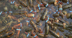 Dozens of American Lobsters in the water with their claws banded