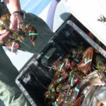 banded lobster in a plastic crate