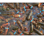 photo of many banded lobsters in shallow water