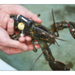 lobster with scientific equipment strapped to body