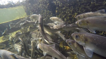 still underwater shot of sea run fish swimming in an enclosure