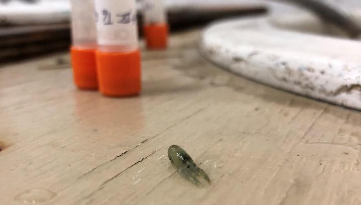 A late stage larva that was raised at the Darling Marine Center this summer