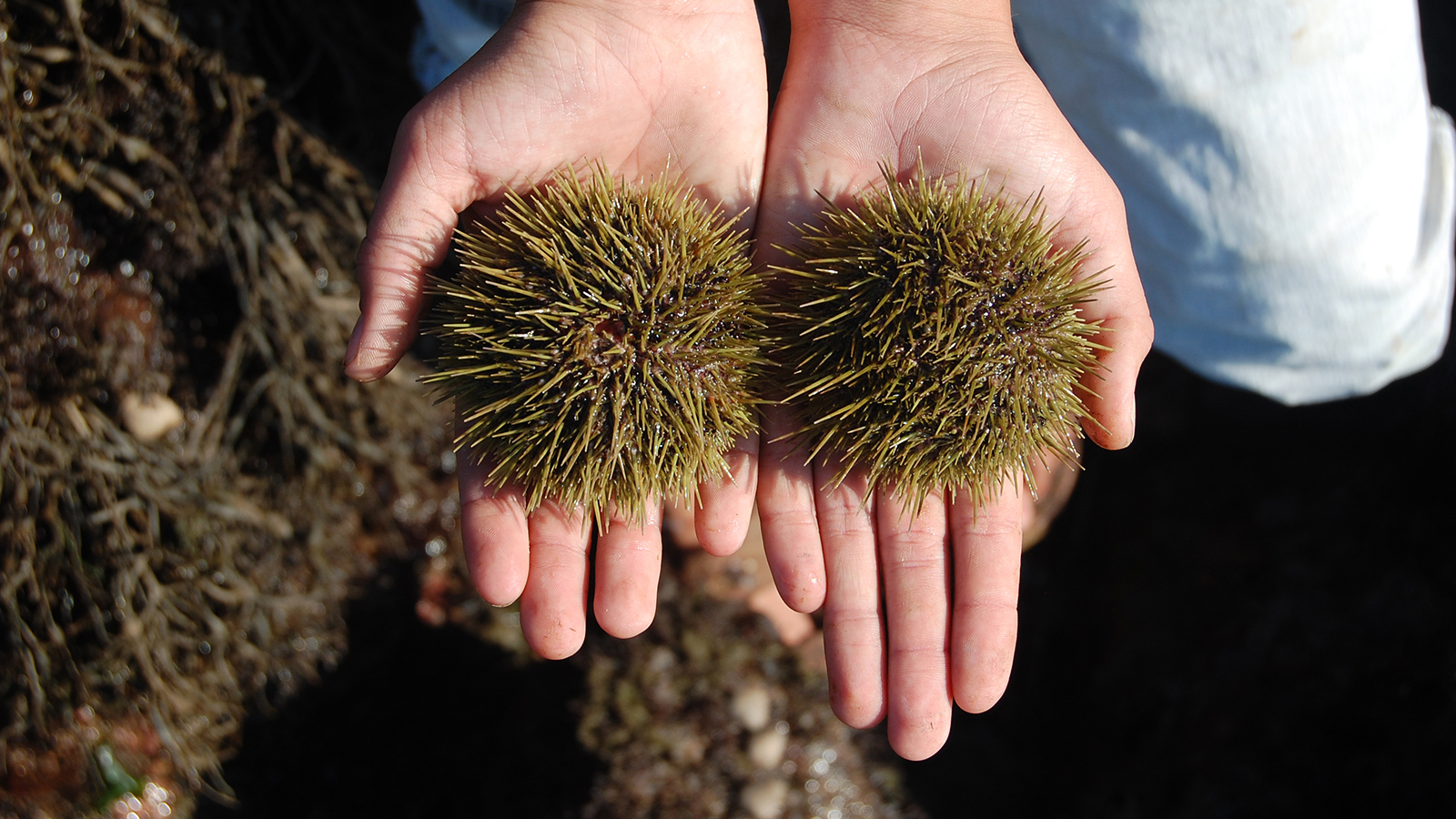 two urchins held in outstretched hands