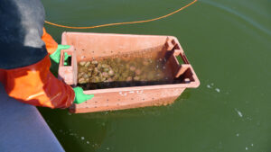 gloved hands holding a rectangular container of urchins over the water.